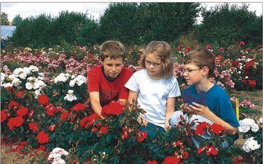 Qual der Wahl: Karl Koch, Karlina und Lauritz Balduhn durften auf den Feldern Rosen für die Herbstpflanzung mit aussuchen.